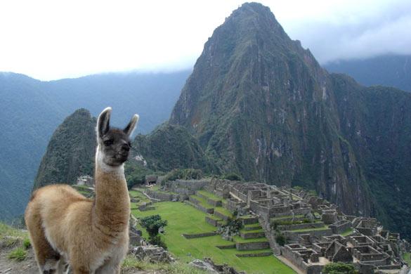 Альпака в Перу